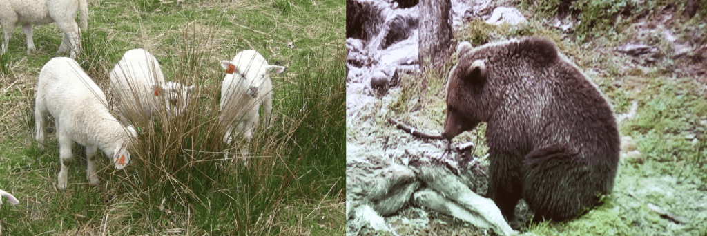 Sauebønder frykter for sauene som de snart skal slippe på utmarksbeite. Samme bjørn som tok sau i fjor ble fanget på viltkamera i Roltdalen den 5. juni.
