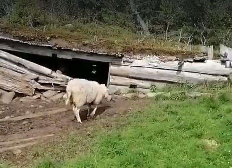 Sau tatt av bjørn