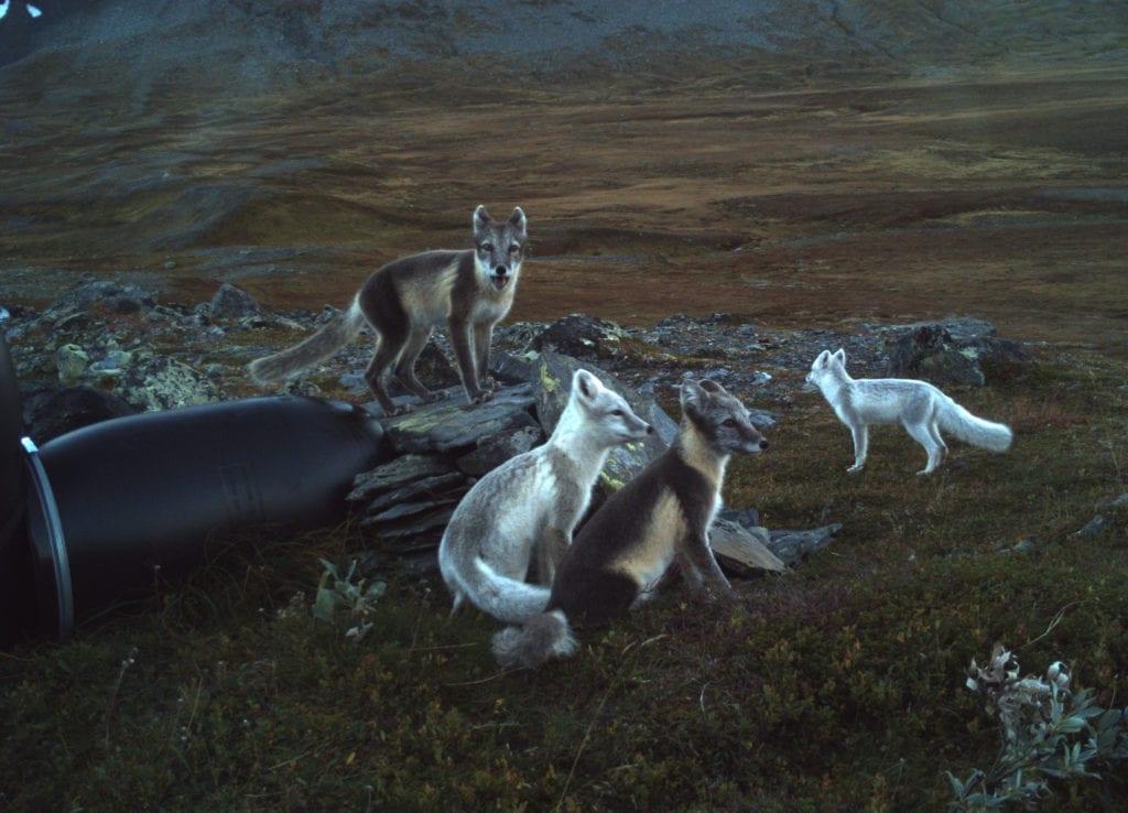 Et familieportrett av de sjeldne, tatt av viltkamera ved en av foringsstasjonene. Dette unike bildet, pluss mange andre, kan du nå oppleve på utstillingen «Fjellfies» ved 705-senteret i Tydal.