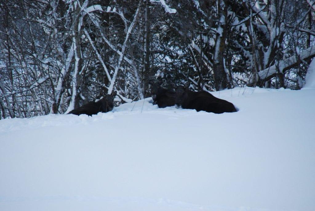 Elg i snø
