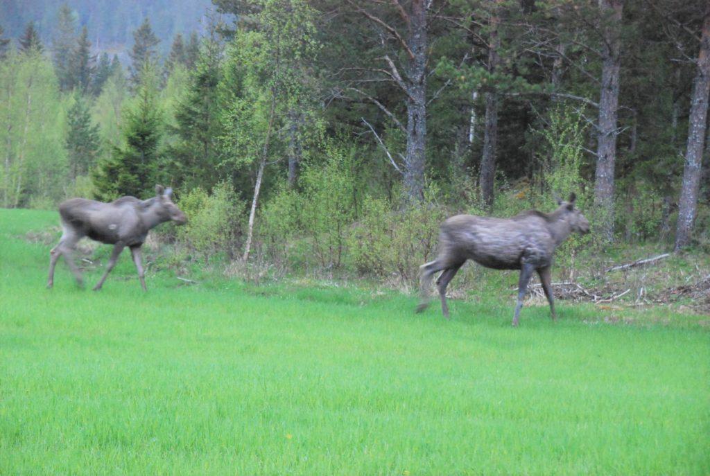 Nå er det best å springe unna. Snart venter elgjegere nær sagt ved hver en tue i skogene. I alt 469 dyr kan felles i dalføret under årets jakt. Foto: arkiv