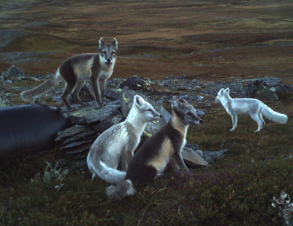 Fjellrevfamilie med fjellrev-valper